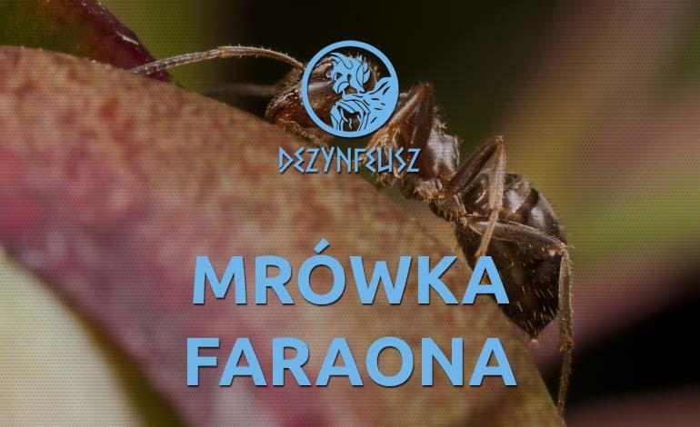 mrowka-faraona